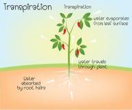 Transpiración en planta ilustración del vector