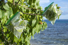 Transpiration bags on leafy branches. Plastic ziplock evapotranspiration bags hang on ends of portia tree branches on Caribbean island to collect fresh drinking Royalty Free Stock Photos