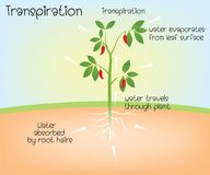 Transpiration i växt vektor illustrationer