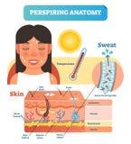 Transpirera det anatomiska diagrammet för illustration för hudtvärsnittvektor med svett som avsöndrar celler vektor illustrationer