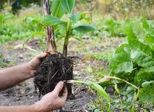 Transplant Flowers In Pots. Florist Transplant Flowers. Florist Transplant Small Banana Tree. Royalty Free Stock Images