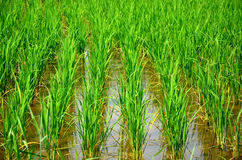 Transplant in the paddy field Royalty Free Stock Photos