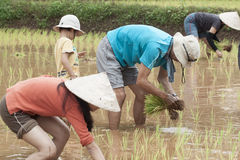 Transplant rice seedling in meadow Stock Photos