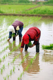 Transplant rice seedlings Stock Image