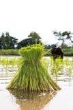 Transplant Rice Seedlings. Stock Photography