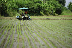 Transplant rice seedlings machine stock images