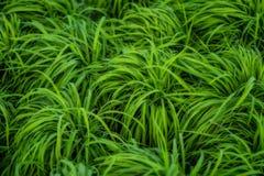 Transplant rice seedlings in rice field, Stock Photos