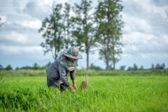 Transplant rice seedlings in rice field, farmer is withdrawn seedling and kick soil flick of Before the grown in paddy field, Farm Royalty Free Stock Photo