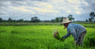 Transplant rice seedlings in rice field, farmer is withdrawn seedling and kick soil flick of Before the grown in paddy field, Farm Royalty Free Stock Image
