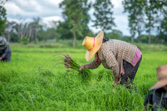 Transplant rice seedlings in rice field, farmer is withdrawn seedling and kick soil flick of Before the grown in paddy field, Farm Royalty Free Stock Images