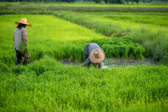 Transplant rice seedlings in rice field, farmer is withdrawn seedling and kick soil flick of Before the grown in paddy field, Farm Royalty Free Stock Photography