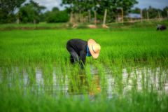Transplant rice seedlings in rice field, farmer is withdrawn seedling and kick soil flick of Before the grown in paddy field, Farm Stock Photos