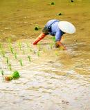 Transplant rice seedlings Royalty Free Stock Photos