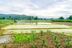 Transplant rice seedlings Royalty Free Stock Image
