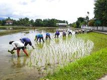 Transplant rice seedlings. Vietnam Farmer transplant rice seedlings on the plot field Royalty Free Stock Photo