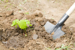 Transplant of a small tree Stock Images