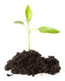 Transplant of a tree Royalty Free Stock Photography