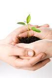 Transplant of a tree female and childrens hands Royalty Free Stock Photos