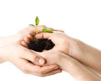 Transplant of a tree female and childrens hands Royalty Free Stock Photo