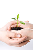 Transplant of a tree female and children's hands Royalty Free Stock Images