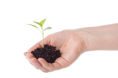 Transplant of a tree in female hands Stock Photography