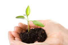Transplant of a tree in female hands Stock Photos