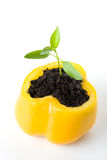Transplant of a tree in a pot from fresh pepper Royalty Free Stock Photo