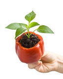 Transplant of a tree in a pot from fresh pepper Stock Photo