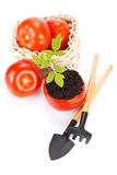 Transplant of a tree in a pot from fresh tomato Royalty Free Stock Photography