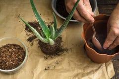 Transplantação da flor do aloés horizontal Imagens de Stock Royalty Free