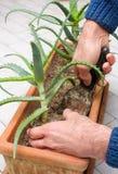 Transplantação de arborescens do aloés Foto de Stock