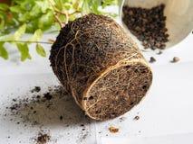 Transplantação de plantas sazonais Raizes saudáveis da planta Transplante a romã fotografia de stock