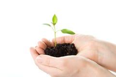 Transplantação de uma árvore nas mãos fêmeas Imagens de Stock Royalty Free