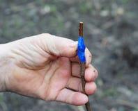 Transplantando árvores de fruto Fotos de Stock Royalty Free