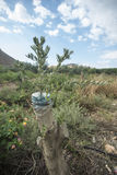 Transplantation auf einem Mangobaum Lizenzfreie Stockfotos