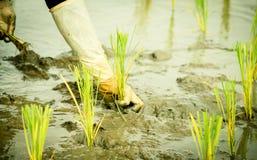 Transplantation de riz images libres de droits