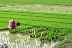 Transplantation des jeunes plantes de riz Images stock