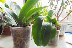 Transplantationsorchideen Gesunde Pflanzenwurzeln Gesunde Wurzeln von Orchideen Lizenzfreies Stockbild