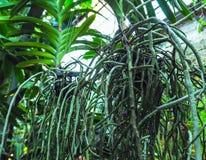 Transplantationsorchideen Gesunde Pflanzenwurzeln Gesunde Wurzeln von Orchideen Lizenzfreie Stockfotografie