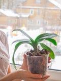 Transplantationsorchideen Gesunde Pflanzenwurzeln Gesunde Wurzeln von Orchideen Lizenzfreie Stockbilder