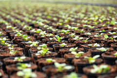 Transplanted seedlings at a nursery Stock Images