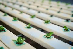 Transplanted into a soilless culture system. Selective focus royalty free stock photo