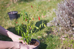 Transplanting chili peppers Stock Image