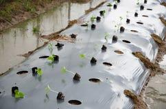 Transplanting crop Stock Photos