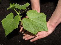 Transplanting cucumber Stock Images