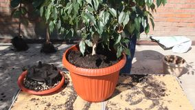 Transplanting the ficus into a larger pot. Transplanting house plants in a plastic pot stock video footage