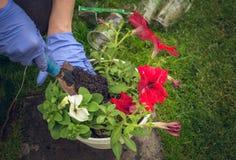 Transplanting flower seedlings Stock Photo