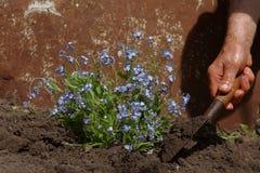 Transplanting flowers. Senior man transplanting flowers in his garden Stock Images