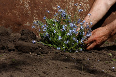 Transplanting flowers. Senior man transplanting flowers in his garden Royalty Free Stock Image