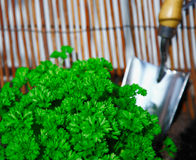 Transplanting fresh parsley plant Royalty Free Stock Photo